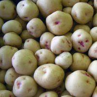 Obdobie zberu zemiakov – viete ale ako ich sadiť?