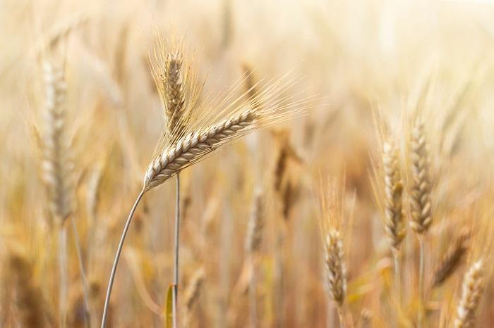 Pšenica má dlhoročnú tradíciu